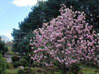 Ботанічний сад у Києві накрило хмарою рожевого цвіту [Фото]